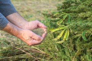 大麻の種?ヘンプシードとは。効果や食べ方を紹介!